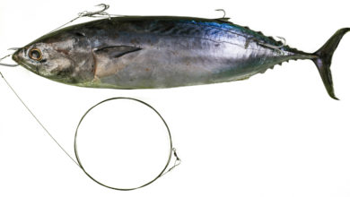 Photo of Ballistic bonito trace