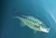 Photo of Bass Do Feed In Winter –