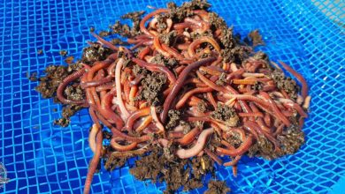 Photo of Technicalities Of Feeder Fishing Part 17: Chopped worms for when all else fails!