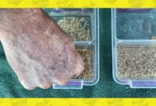Photo of How to prepare dead Maggots